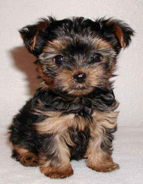 Terriers puppy pictures